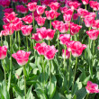 Red tulips in park — Stock Photo
