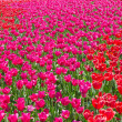 Red beautiful tulips field - Stock Photo