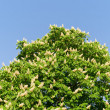 Stock Photo: Blossom of horse-chestnut tree