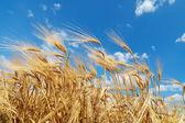 Gold ears of wheat under deep blue sky — Stock Photo