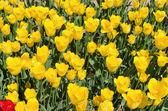 黄色の美しいチューリップ フィールド — ストック写真