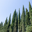 Stock Photo: Cypress trees