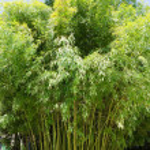Green bamboo — Stock Photo