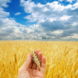 Golden harvest in hand over field — Stockfoto