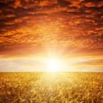 dorado atardecer en campo de trigo — Foto de Stock   #8110940
