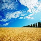 Golden field under cloudy sky — Stock Photo