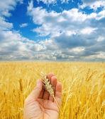 Cosecha de oro en mano sobre campo — Foto de Stock