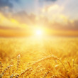 Golden wheat field and sunset — Stock Photo #8411965