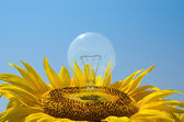 Bulb in sunflower — Stock Photo