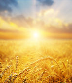 Golden wheat field and sunset — Stock Photo