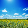 Sunflowers field and white clouds on blue sky — Foto Stock