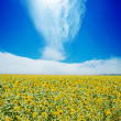 Sunflowers field and white clouds on blue sky — Stock Photo #8559933