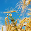 Golden wheat ears with blue sky over them - Stock Photo