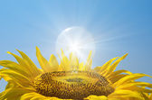 Bulb in sunflower with reflections — Stock Photo