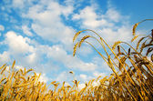 Golden wheat ears with blue sky over them. south Ukraine — Stock Photo