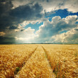 Dramatic sky over golden field - Stock Photo