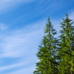 Pines under deep blue sky — Stock Photo