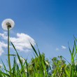 Old dandelion in green grass field and blue sky — Stock Photo