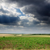 Field with green maize under dramatic sky — Stock Photo