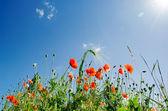 Flores de amapola bajo cielo soleado — Foto de Stock