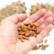 Cones and Nuts of Siberian Cedar Pine in hand — Stock Photo
