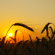 Field with gold ears of wheat in sunset — Stock Photo