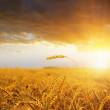 Stock Photo: Field with gold ears of wheat in sunset