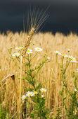 Golden ear of wheat with daisy under dark sky — Stock Photo