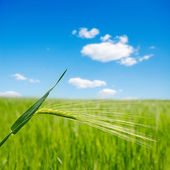 Green ear over field. soft focus — Stock Photo