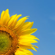Stock Photo: Yellow sunflower on clear sky