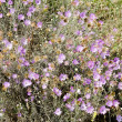 Violet flowers on meadow — Stock Photo