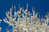 Blooming spring tree branches with white flowers over blue sky — Stock Photo