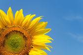 在晴朗的天空上的黄色向日葵 — 图库照片