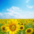 Sunflower close up on field — Stock Photo