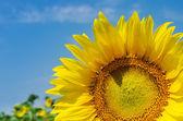 Sunflower close up on field — Stock Photo