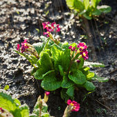 Primula under the rain — Stock fotografie