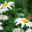 Butterfly on chamomile — Stock Photo #9581182