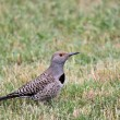 Stock Photo: northern flicker