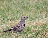 Northern Flicker — Stock Photo