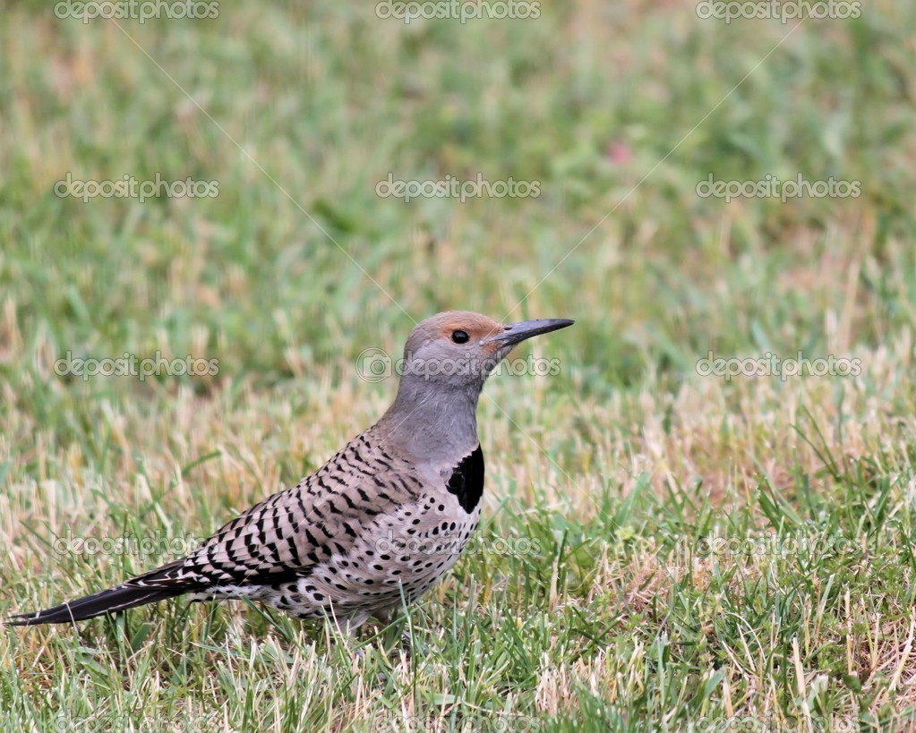 This Flicker is in our yard hunting for bugs and worms. The Flicker is of the Woodpecker family. — Stock Photo #10721101