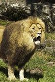Lejon i en djurpark 2 — Stockfoto
