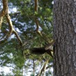 Squirrel in pine tree — Stock Photo