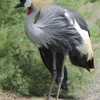 Stock Photo: Grey crowned crane posed