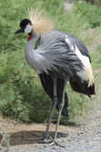 Grey crowned crane posed — Stock Photo