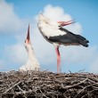 Two storks sitting in a nest — Stockfoto