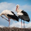 Two storks sitting in a nest — Stock Photo