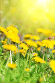 Field of dandelion and perfect sunny day — Stock Photo