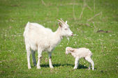 Summer landscape with a goat and kid — Stock Photo
