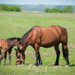 Mare and foal on the pasture — Stockfoto