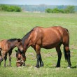 Mare and foal on the pasture — Stock Photo